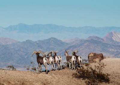 Eldorado Canyon Tour 10 Long Horned Sheep Herd