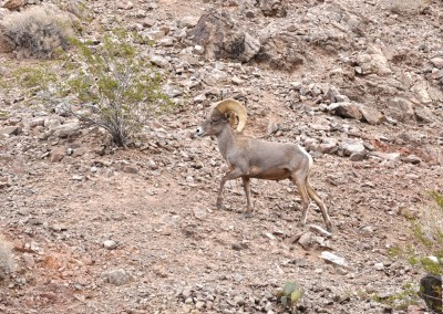 10 Eldorado Canyon Tour Long Horned Sheep 1
