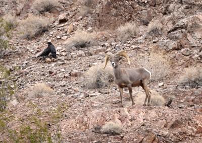 10a Eldorado Canyon Tour Long Horned Sheep 2
